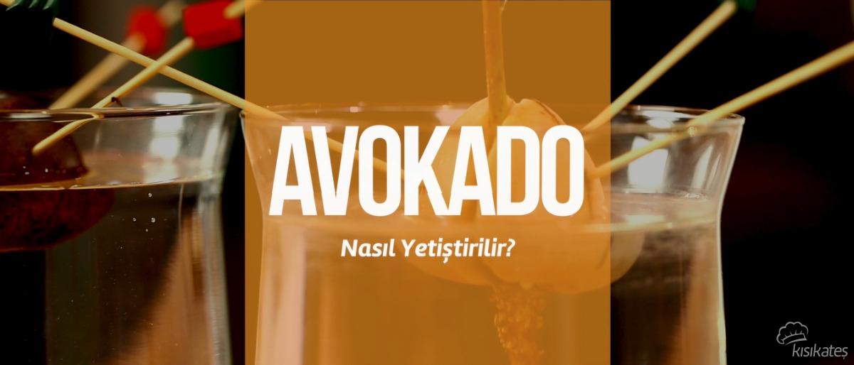 Avokado Nasıl Yetiştirilir?